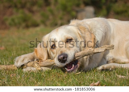 Golden Retriever is biting a stick. The dog is lying on a green lawn. - stock photo