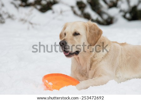 Golden retriever is lying on the snow and playing with a orange toy. All potential trademarks are removed. - stock photo