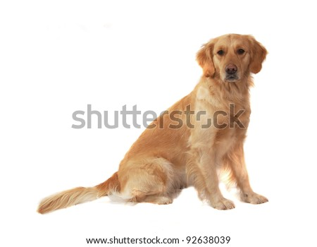 Golden retriever isolated on white - stock photo