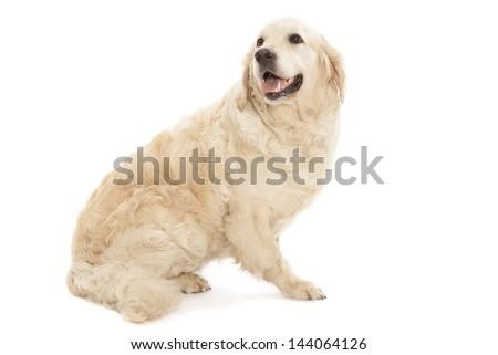 Golden Retriever isolated over white background - stock photo