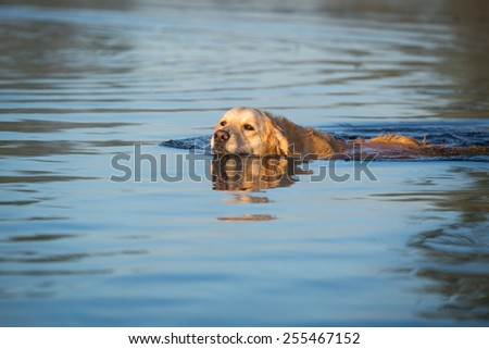 Golden retriever it the water