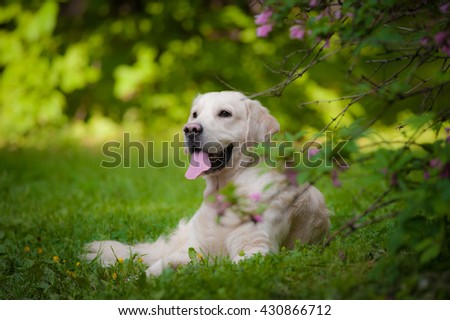 golden retriever laying on a grass in the park