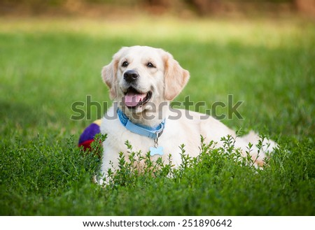 Golden retriever laying on grass and smiling - stock photo