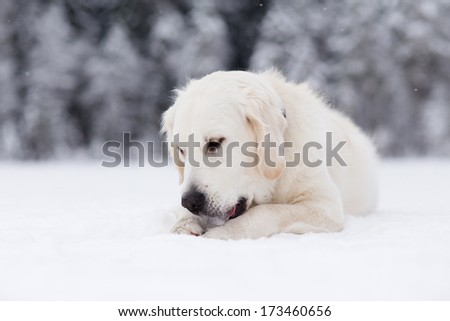 Golden retriever laying on snow and licking ice - stock photo