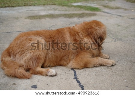 Golden Retriever Lazy Dog