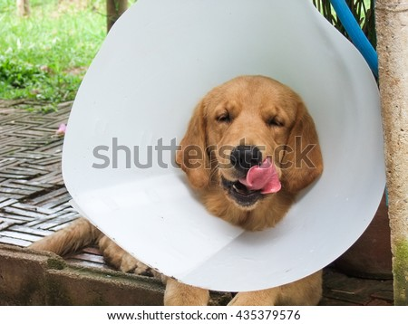 Golden Retriever licking lips and while wearing plastic protective collar on the neck for lick and scratch protection as vet medical use device