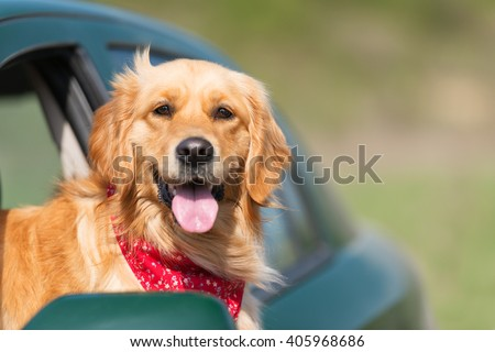 Golden Retriever Looking Out Of Car Window - stock photo
