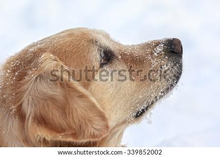 Golden Retriever looking up - stock photo