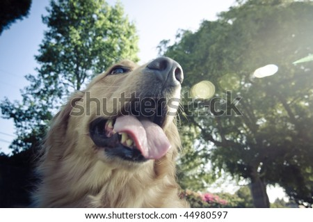 golden retriever looking up - stock photo
