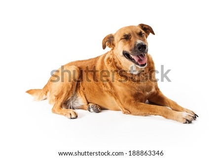 Golden Retriever mixed breed dog laying down with his eyes closed and an expression on his face like he is laughing - stock photo
