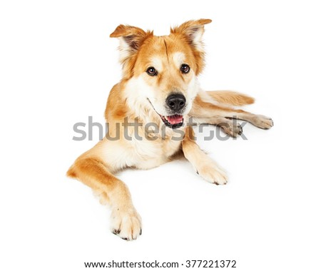 Golden Retriever mixed breed dog laying on white with open mouth smiling - stock photo
