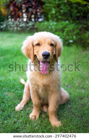Golden Retriever 3 month old puppy lying in the grass