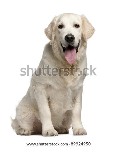 Golden Retriever, 7 months old, panting in front of white background - stock photo