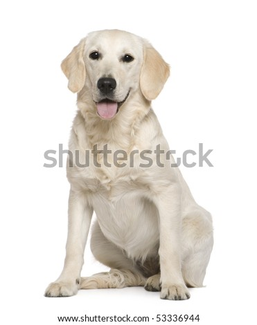 Golden Retriever, 6 months old, sitting in front of white background - stock photo