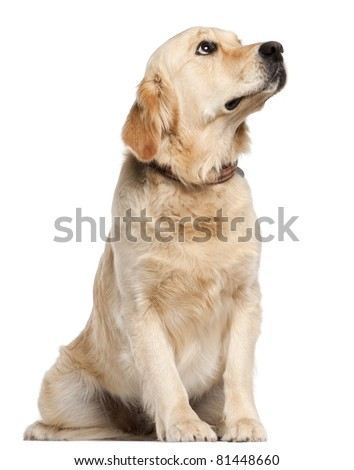 Golden Retriever, 19 months old, sitting in front of white background - stock photo