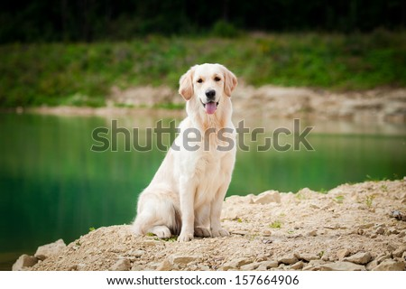 Golden retriever on the beach near the water - stock photo