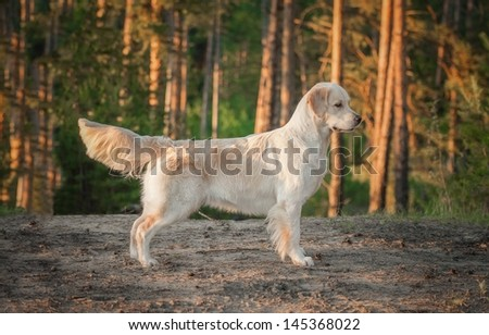 golden retriever on the forest - stock photo