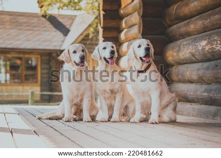Golden retriever on the nature of the farm - stock photo