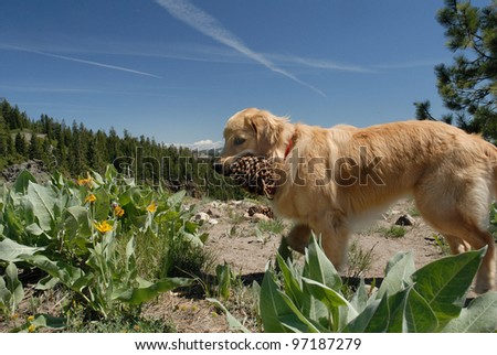 Golden retriever on trail to Mt Disney in the California Sierra Nevada Mountains - stock photo