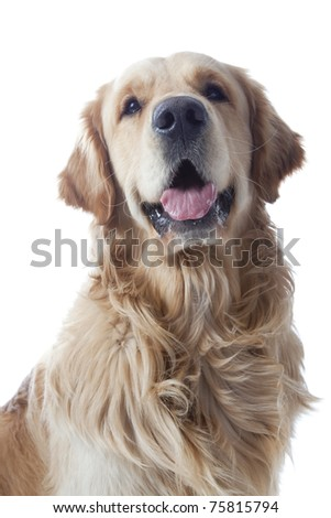 Golden retriever on white background