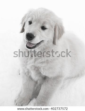 Golden Retriever on White Background in Black and White - stock photo