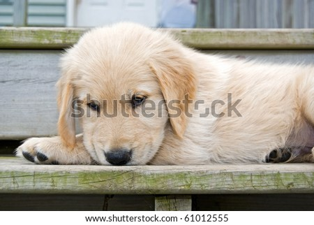 golden retriever on wooden step