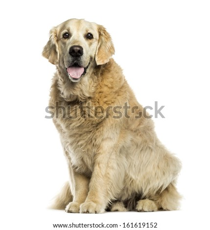 Golden retriever panting, sitting, isolated on white - stock photo