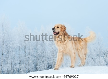 Golden retriever playing in the snow - stock photo