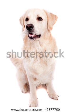 Golden Retriever Portrait - isolated on white - stock photo