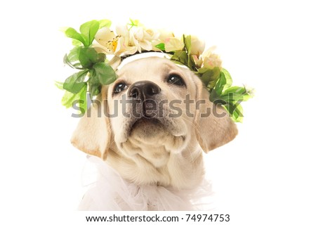 golden retriever posing in studio with flowers on head. Isolated on white