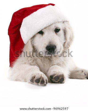 golden retriever pup with santa hat - stock photo