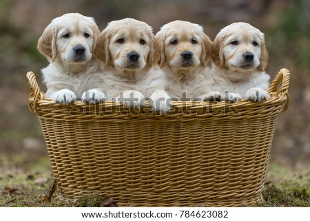 Golden Retriever puppies in a basket outdoors in nature.