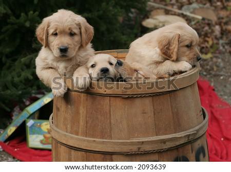 golden retriever puppies in barrel - stock photo