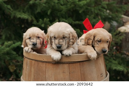 golden retriever puppies in barrel - stock photo
