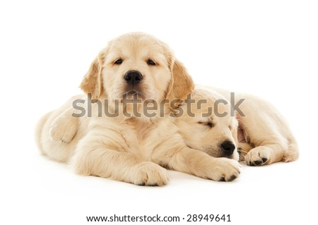 Golden Retriever puppies isolated on a white background - stock photo