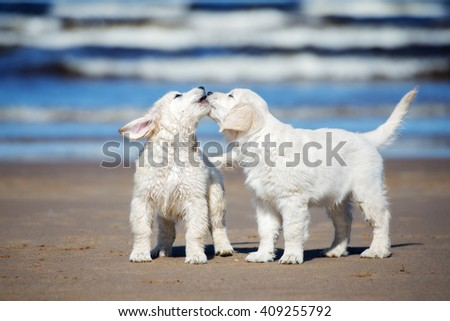 golden retriever puppies on the beach - stock photo