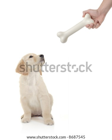 Golden retriever puppy about to bite a bone - stock photo