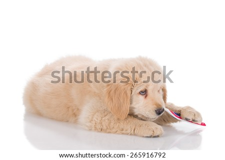 Golden Retriever puppy brushing his teeth - stock photo