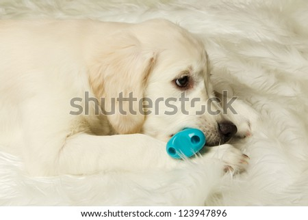 golden retriever puppy chewing on a toy - stock photo