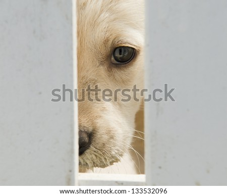 Golden retriever puppy dog - stock photo