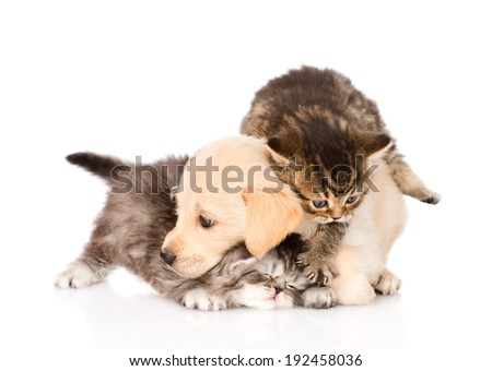 golden retriever puppy dog and british cats fight. isolated on white background
