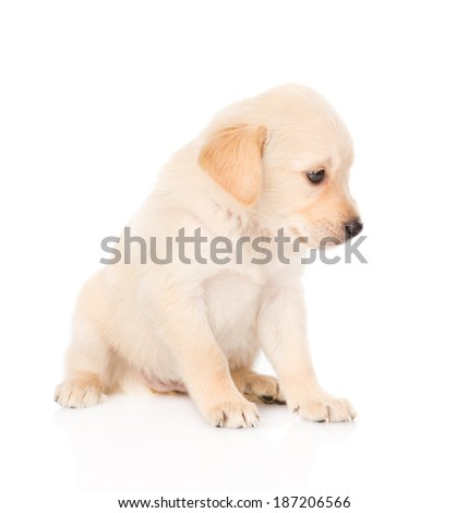 golden retriever puppy dog in profile. isolated on white background - stock photo
