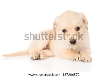 golden retriever puppy dog. isolated on white background - stock photo