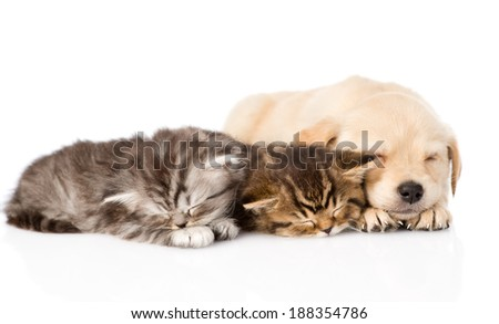 golden retriever puppy dog sleep with two british kittens. isolated on white background