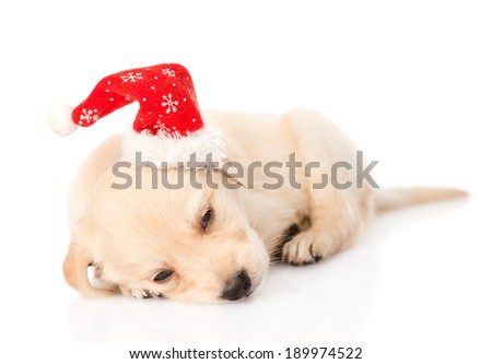 golden retriever puppy dog with santa hat. isolated on white background
