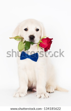 golden retriever puppy holding a rose in his mouth - stock photo