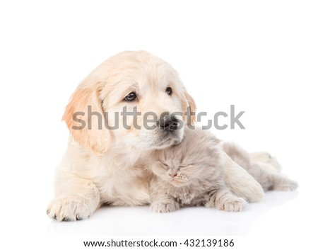 Golden retriever puppy hugging a small kitten. isolated on white background