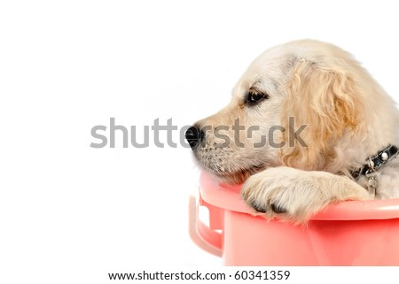 Golden retriever puppy in basket isolated on white background - stock photo