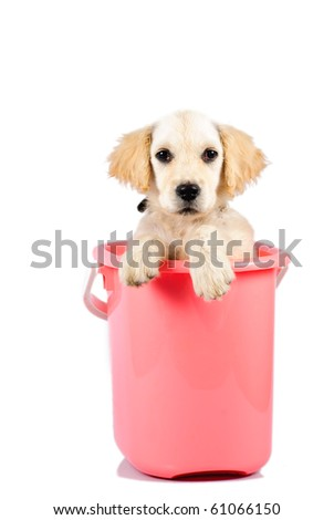 Golden retriever puppy in bucket isolated on white background - stock photo