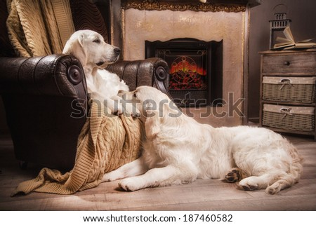 golden retriever puppy in the interior. dog fireplace - stock photo
